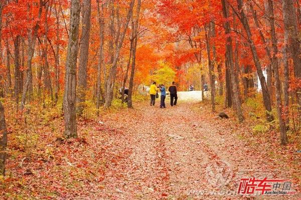 驱车或漫步在红叶谷中,落下的树叶在风中翻飞舞动,红的,黄的,金的,绿